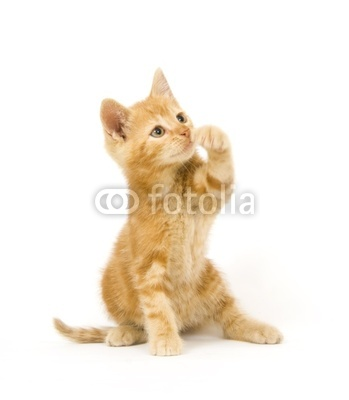 Yellow cat swinging at toy